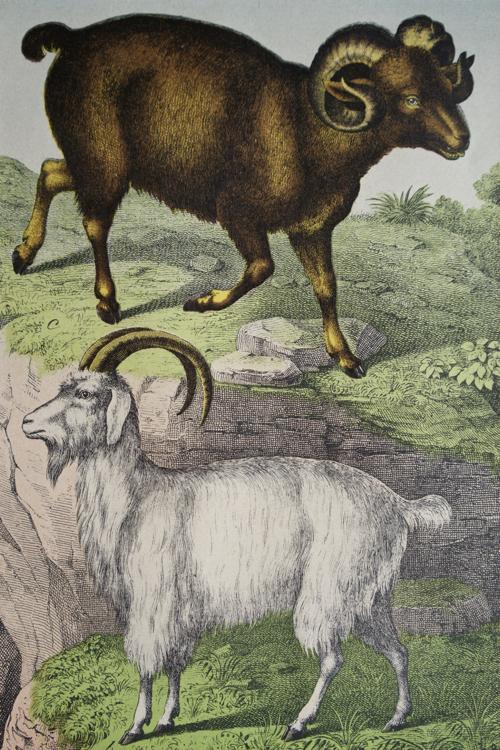 アンティーク 銅版画 古い本の挿絵 羊と山羊
