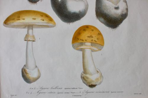 キノコ エッチング アンティーク フランス 銅版画