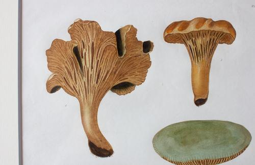 キノコ エッチング アンティーク フランス 銅版画 菌糸類